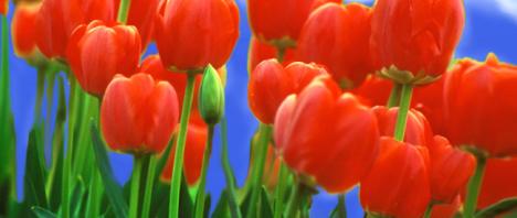 Tulpenblueten